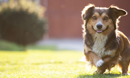 razas-de-perros-pequeños