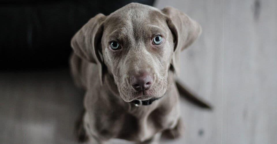 razas-de-perros-grises
